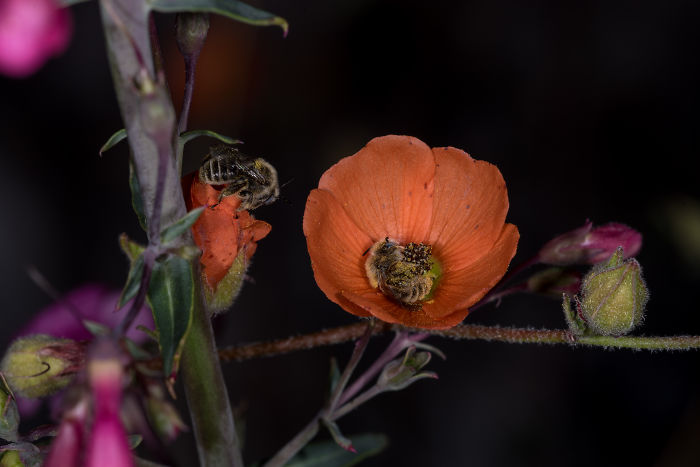 Beautiful Photograph Of Two Bees Sleeping In A Flower By Joe Neely 03