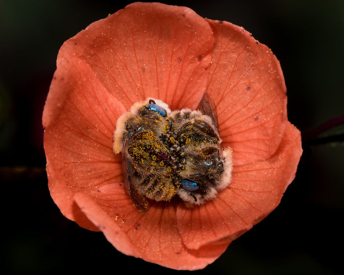 Beautiful Photograph Of Two Bees Sleeping In A Flower By Joe Neely 05
