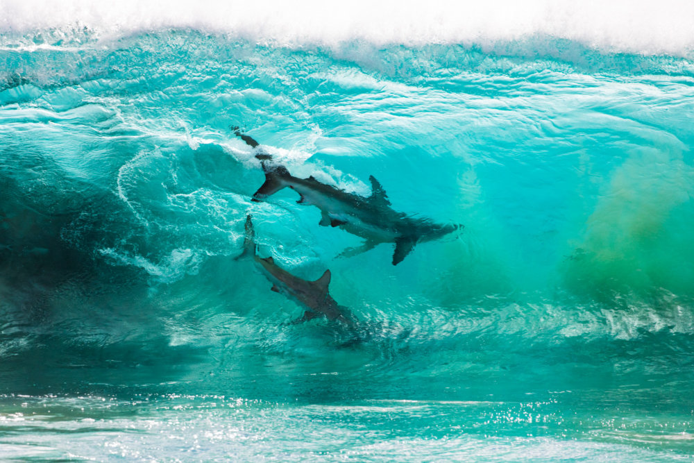 Incredible Photographs Of Sharks Swimming In A Wave Captured By Sean Scott 1