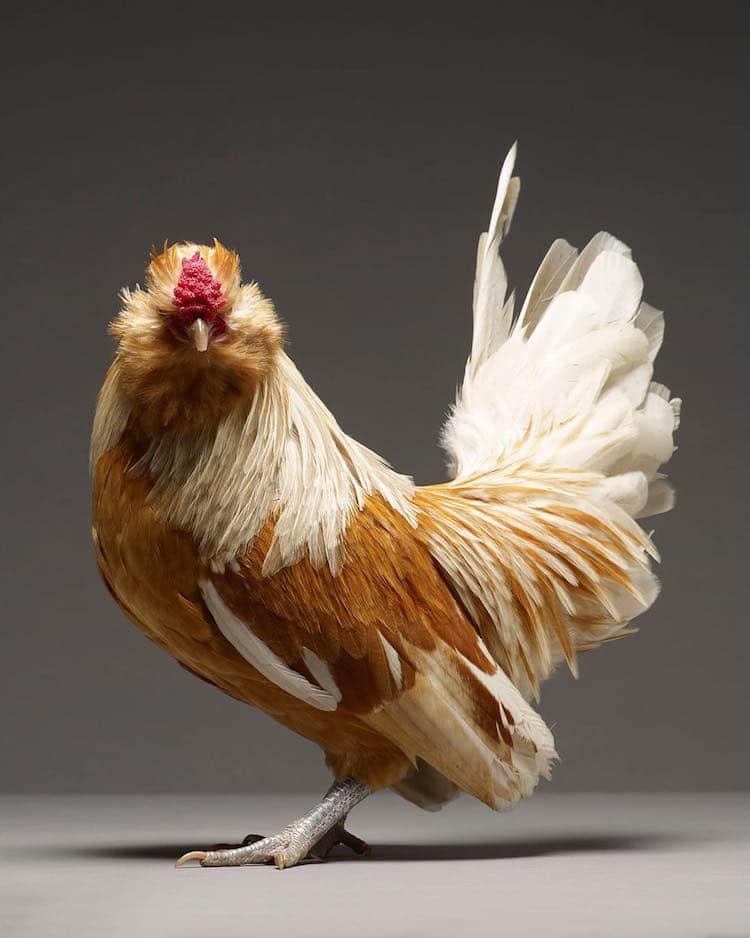 Chicken Superb Chicken Portraits By Moreno Monti And Matteo Tranchellini 9