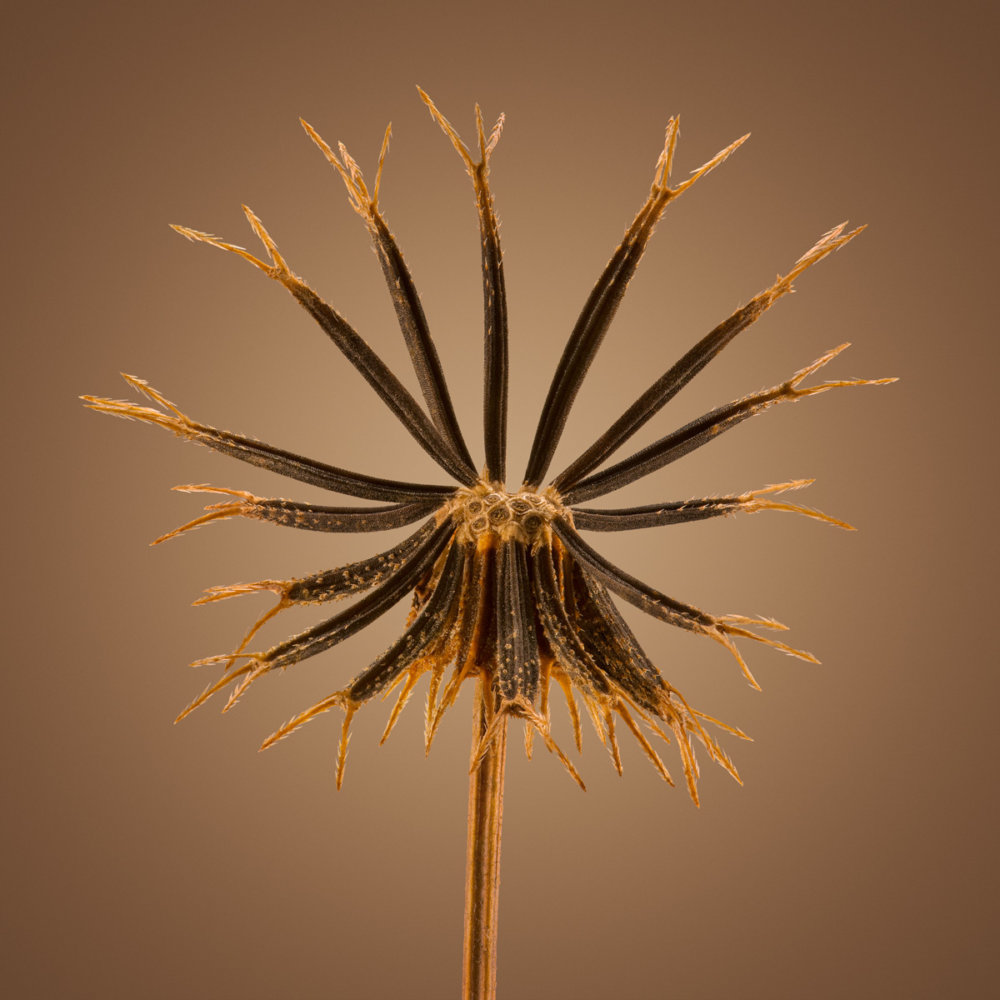 Hitchhikers Thorn And Bur Seeds In Macro Photography By Dillon Marsh 5