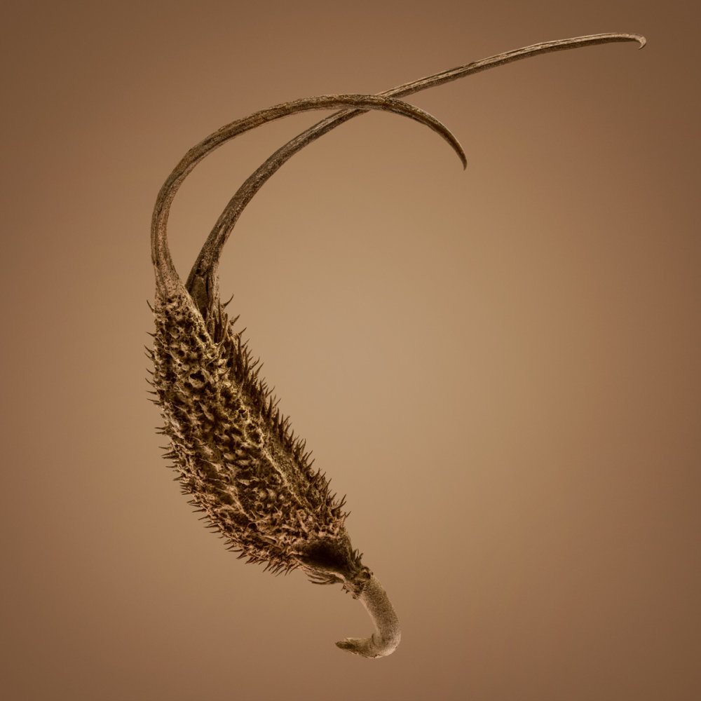 Hitchhikers Thorn And Bur Seeds In Macro Photography By Dillon Marsh 7
