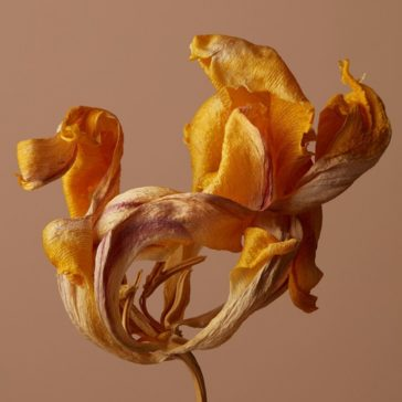 """Fanée"": fabulous withered flower photography series by Akatre Studio"